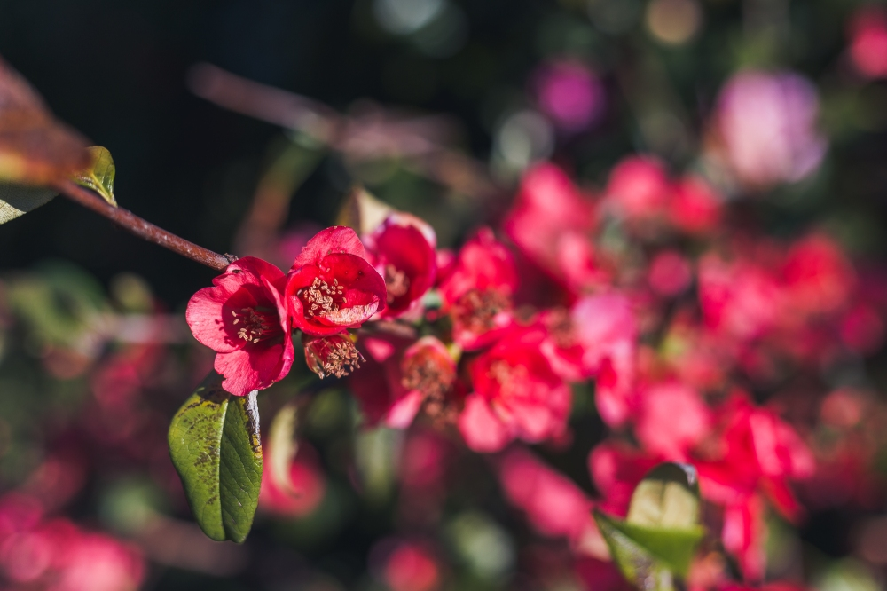 Chaenomeles japonica (Japanese flowering quince