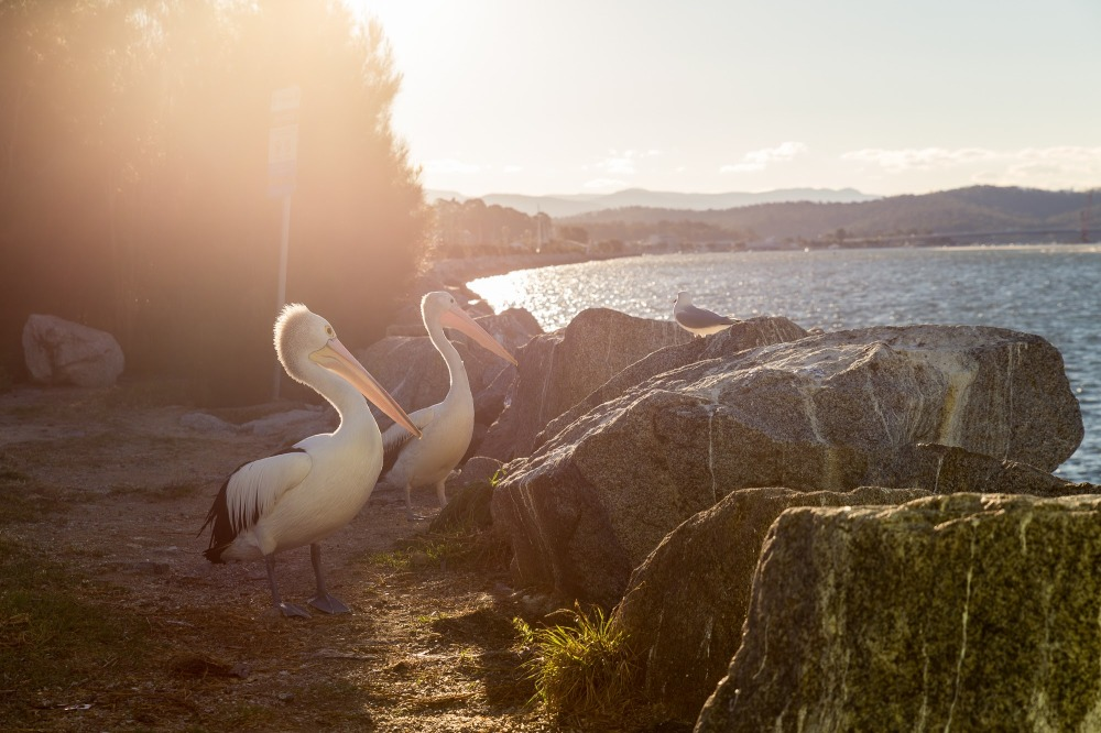 [Image Description: Two pelicans looking out over large rocks on the border of a river in the late afternoon golden sun.]